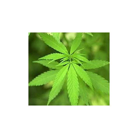 Cannabis Plus Dangereux Que Le Tabac Agoravox Le Media Citoyen