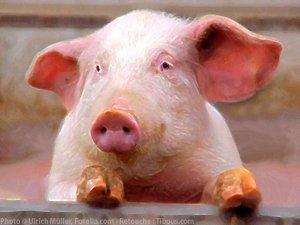 Une vraie t te de cochon agoravox le m dia citoyen - Tete de cochon a colorier ...