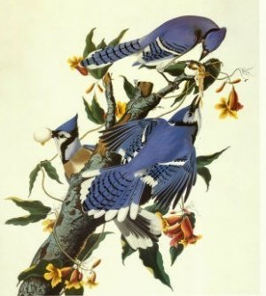 audubon ornithologue de talent peintre de g nie agoravox le m dia citoyen. Black Bedroom Furniture Sets. Home Design Ideas