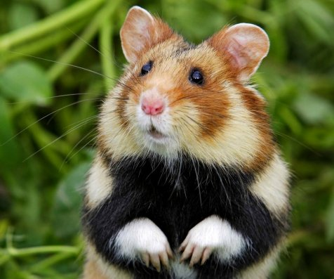 hamster poilu Big Black lesbiennes photos