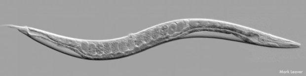 La théorie sur la conscience de Dehaene en question - Page 2 Caenorhabditis-elegans-mark-a2ad9-41617