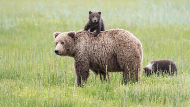 maintenant en alaska vous pourrez tuer un ours qui hiberne agoravox le m dia citoyen. Black Bedroom Furniture Sets. Home Design Ideas